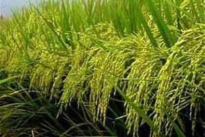 Ориз: Търговският ден приключи с леко повишение