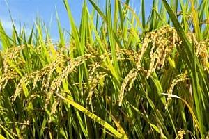 Ориз: Спад в цената на арпата