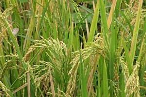 Ориз: Спокойствие на пазара на арпа в САЩ