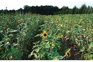 Ще успеят ли фермерите със сеитбата на слънчогледа и соята?
