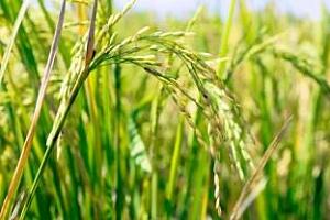 Прогнози на агенциите USDA, FAO и IGC за ориз през 2013 година