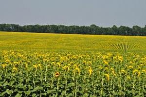 Зърнени запаси и пазар на зърно в България – пшеница, ечемик, царевица, слънчоглед, рапица