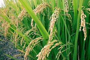 Ориз: Понижение в цената на ориза за шести пореден ден