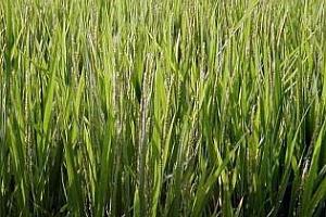 Ориз: Лек спад в цената на оризовата арпа