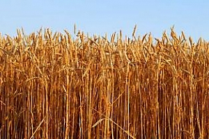 Аржентина рязко намали износа на пшеница