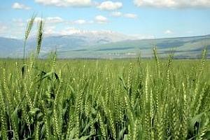Агро прогноза: Без притеснения за реколтата от пшеница  в ЕС поне за сега