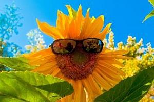 Реколтата от слънчоглед в света ще е 40 млн. тона
