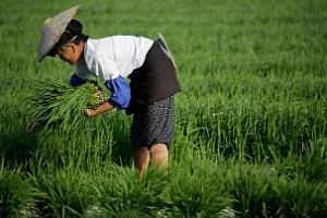 Китай остава най-големият вносител на ориз в света