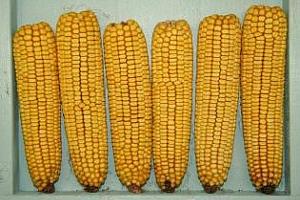 Азия се насочи към царевица от Южна Африка