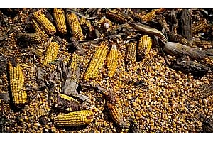 Предстои суша в Румъния, която ще навреди на слънчогледа и царевицата