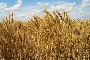 Пазарът на зърно в България