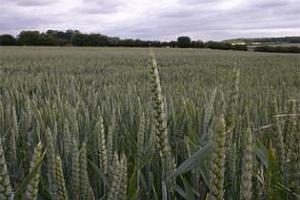 ЕС: Производството на мека пшеница за сезона 2012/13 ще e с 2% по-малко