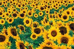 В Русия до края на 2012/13 МГ може да бъдат произведени още 1,1 млн. тона слънчогледов шрот