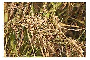 Ориз: Фючърсите на оризовата арпа са под натиск