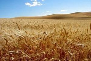 MARS: Забавянето на сеитбата в ЕС ще повлияе негативно на бъдещите добиви от мека пшеница и рапица