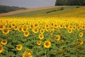 Производството на слънчоглед в света през новия сезон ще се увеличи с почти 7%