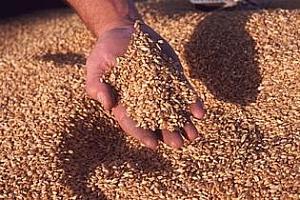 Китай закупи голяма партида пшеница от САЩ