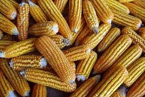 Агро коментар: Цената на царевицата ще падне
