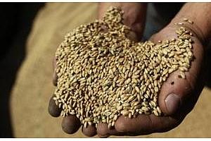 Оман продължава закупуването на руска пшеница