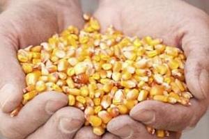 България ще доставя царевица в Китай