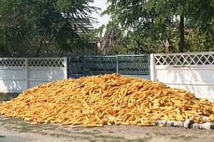 Румъния - втора по производство на царевица в ЕС