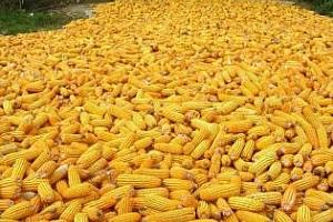 България: запасите от царевица превишиха 70 хиляди тона