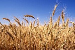 FAS USDA: През сезона 2013/14 износът на зърно от Русия ще се увеличи до 24 млн. тона