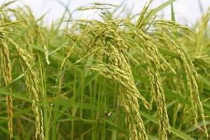 Ориз: Цената на оризовата арпа тръгна нагоре