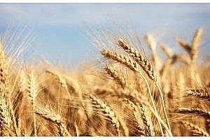 Турция повиши изкупните цени на пшеницата
