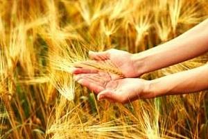 България може да изнесе през новия сезон 3 млн. тона пшеница