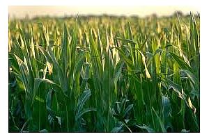 Франция - пшеница и ечемикът са в добро състояние, царевицата се влошава.