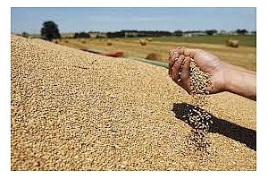 Износът на пшеница преваля, започваме слънчогледа.