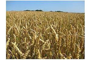 Експорта на пшеница от Индия ще е по-малък от очаквания