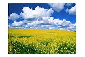 Експорта на мека пшеница и канола от Канада се е увеличил миналата седмица
