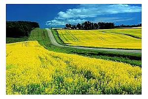 Експорта на ГМО рапица от Канада продължава да нараства