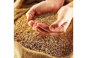 Резултати от търга за пшеница на Египет