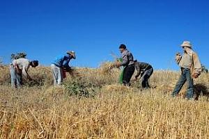 Мароко: запасите от пшеница са достатъчни за задоволяване на вътрешния пазар