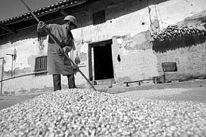 Китай възобнови закупуването на американска царевица.