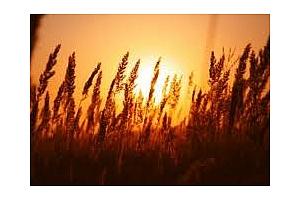 Черноморска пшеница е закупил Иран