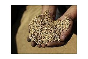 Фуражна пшеница от Черноморския регион е закупила Малайзия