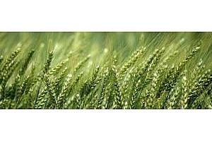 Успех на френската пшеница в Египет ободрява цените на всички земеделски култури на MATIF