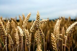 Резултати от търга за твърда пшеница на Алжир