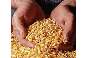 Голяма партида фуражна царевица е закупил Израел