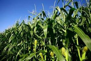 Германия: царевичните посеви може да бъдат повече от очакваното