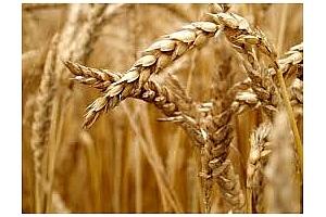 Огромно количество хлебна пшеница е закупено от Алжир