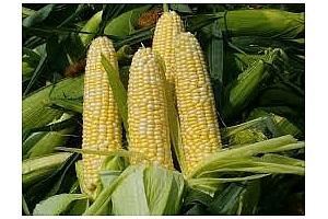 Партида фуражни зърна – царевица, пшеница и ечемик – закупени от Южна Корея