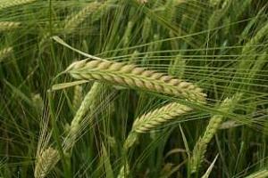 Търгове за фуражна пшеница и ечемик ще организира Япония