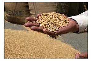 Фуражна пшеница закупена от Южна Корея
