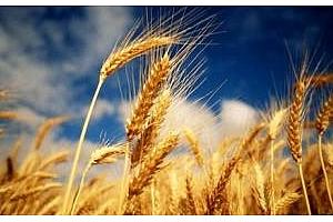 FAO снижи прогнозите за световното производство на пшеница през 2012/13 МГ с 15 млн тона