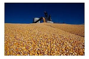 Фуражна царевица закупена от Южна Корея